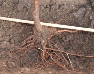Поэтпное руководство для посадки дерева