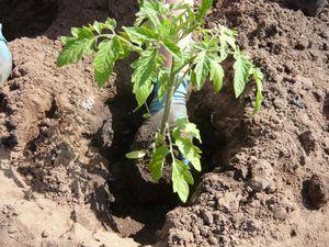 Пересадка рассады помидор