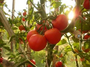 Как сажать помидоры на рассаду? Выбираем лучшие сорта томатов для посадки