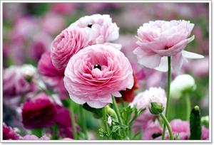 Комнатные цветы похожие на розы название и фото