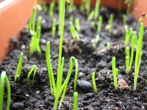 Когда сажать лук весной, способы посадки севка, советы по выращиванию и уходу
