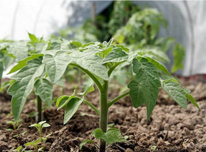 Безрассадный способ выращивания томатов