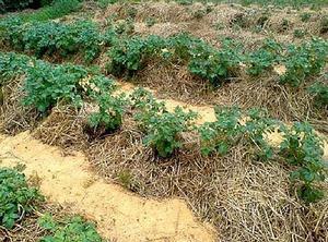 Огород когда сажать картофель 86