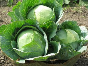 Условия для выращивания капусты