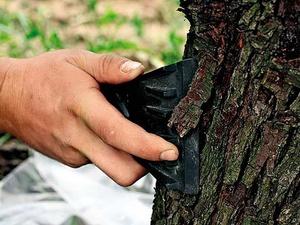 Описание повреждений которые могут появиться после зимы у яблонь