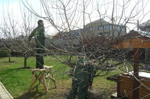 Советы опытных садоводов как правильно обрезать яблони
