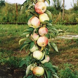 Сорт яблок колоновидной яблони