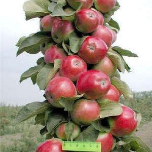 Колоновидный сорт яблони