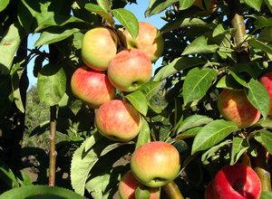 Сорт яблок медок