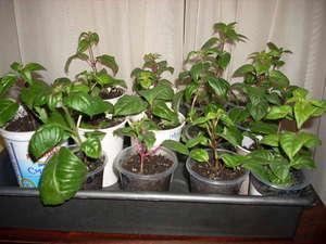 Выращивание ампельной фуксии