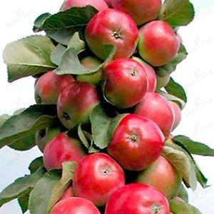 Плоды колоновидной яблони