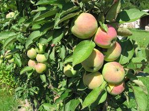 Сорт яблок колоновидных