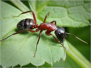 Общее описание насекомых муравьёв