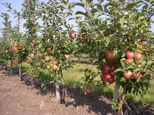 Благодаря своей компактности на площади одного обычного фруктового дерева можно посадить до 6 карликовых