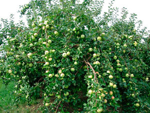 Карликовые яблони отичаются хорошей урожайностью