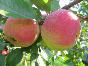 Летний сорт карликовой яблони