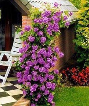 Вьющиеся розы в саду