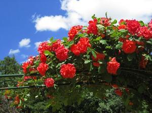 Плеть из розз на заборе