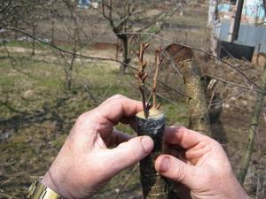 как правильно прививать деревья и когда видео