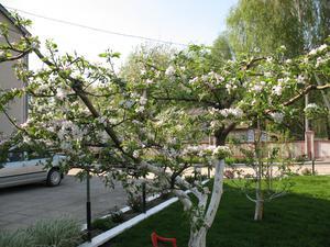 Яблоня с чашевидной формой