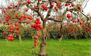 Яблоня с веретеновидной кроной