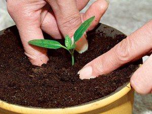 Хлорофитум цветок уход в домашних условиях