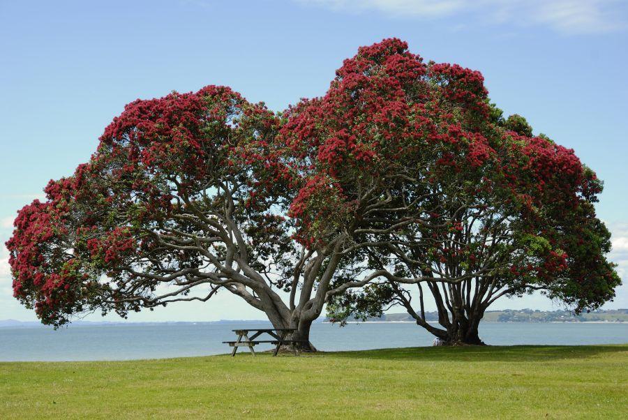 Дерево рамбутан
