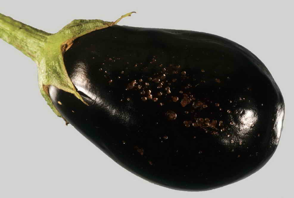 Фомопсис на плодах баклажана