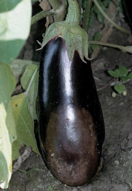 Плод баклажана, поражённый фитофторозом