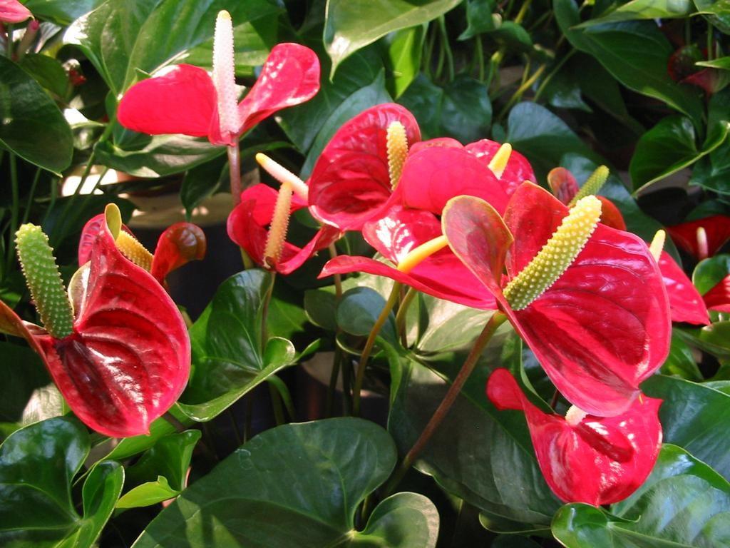 Антуриум цветёт