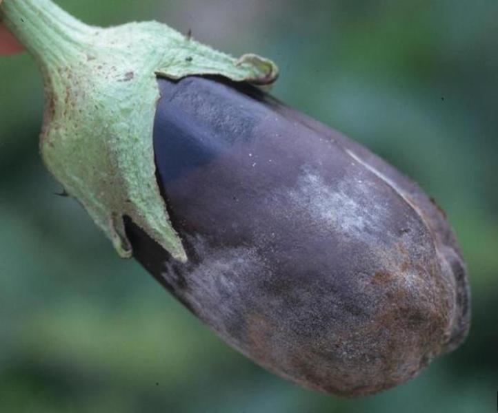 Серая гниль на плодах баклажана