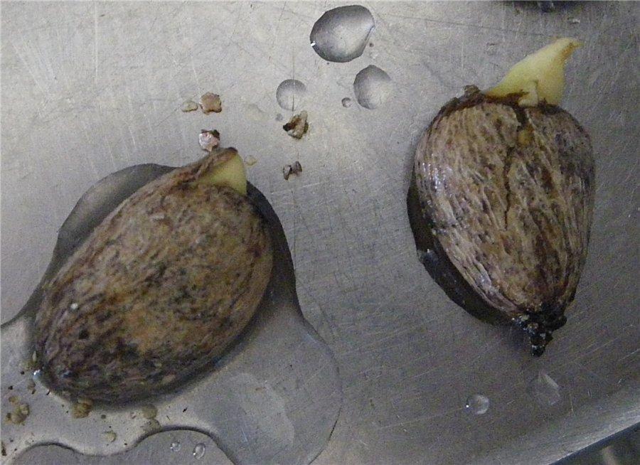 Проращивание косточки рамбутана