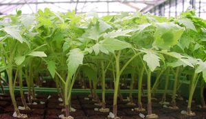 Описание выращивания и пикировки рассады помидор