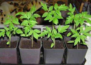 Советы садоводов по уходу за рассадой помидор