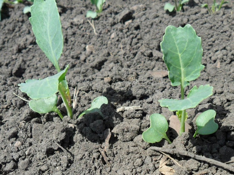 Как выращивать капусту из рассады