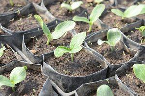 Кабачки выращивание и уход