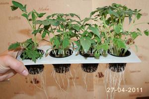 Как получить хороший урожай помидоров