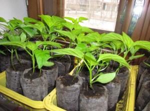 Как правильно выращивать рассаду баклажанов: подготовка семян и почвы, правила ухода за рассадой