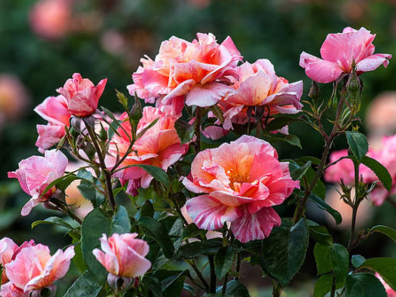 Роза бабии