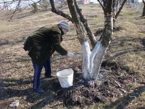 Как проводится побелка яблонь весной: что такое побелка, зачем она нужна и когда ее лучше делать