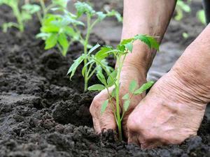 Хорошая подкормка для рассады томатов - чем и в какие сроки удобрять