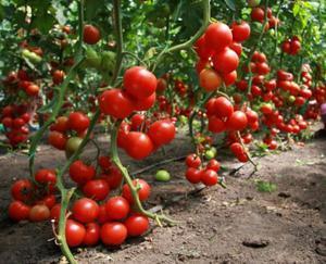 Общее описание помидор