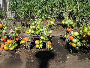 Описание сортов помидор для открытого грунта