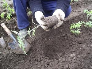 Описание способа высадки рассады помидор в открытый грунт