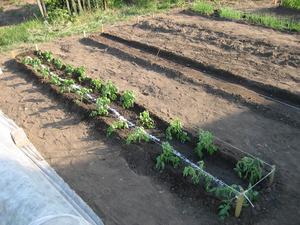 Рекомендации садоводов как правильно ухаживать за помидорами
