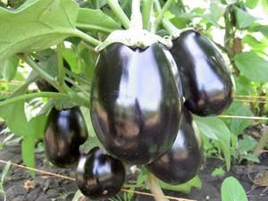 Общее описание выращивания баклажан