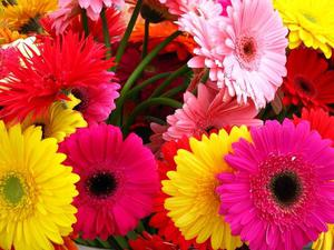 Цветы фото гербера