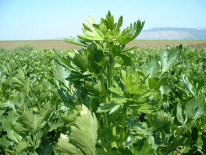 Процесс выращивания листового и черешкового сельдерея