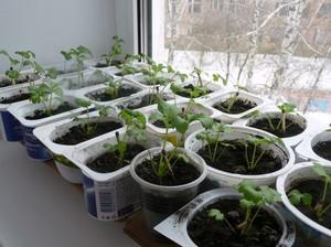 Подробное описание выращивания и ухода за рассадой сельдерея
