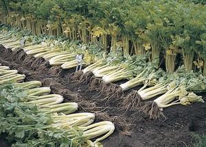 Выращивание черешкового и листового сельдерея на грядках
